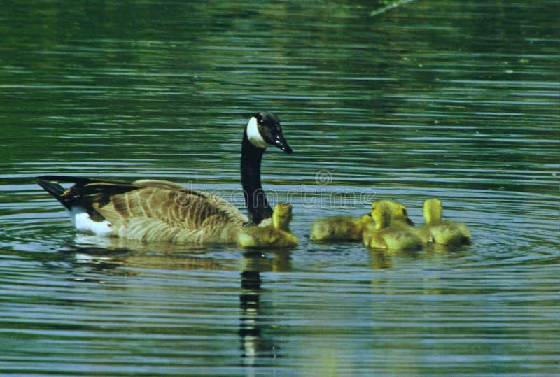 De Ganzenfamilie van Canada op een Vijver stock afbeeldingen
