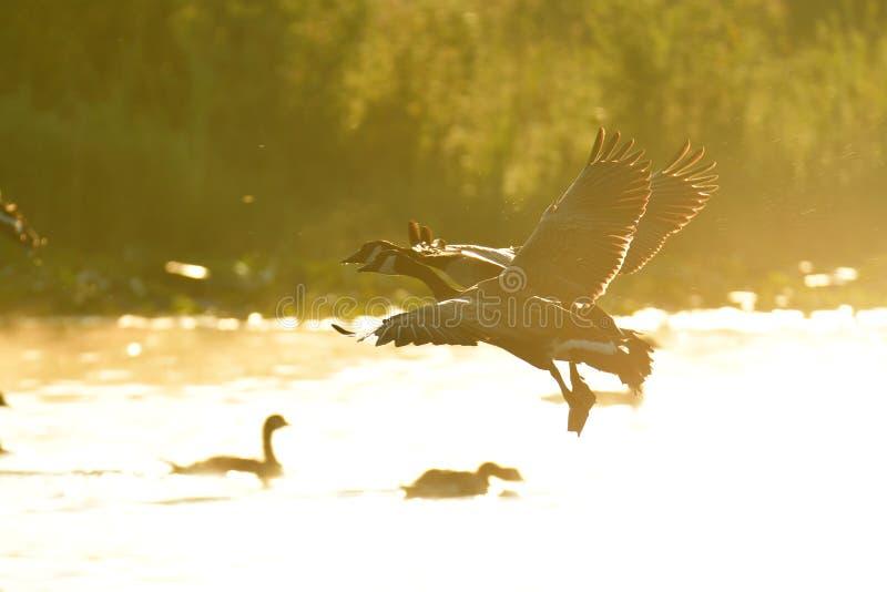 De ganzenvlieg van Canada door de hemel en de ochtendmist royalty-vrije stock afbeeldingen