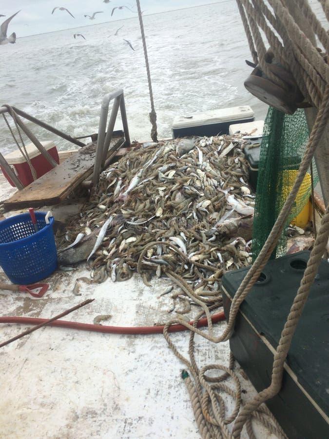 De garnalen van de golfkust stock fotografie