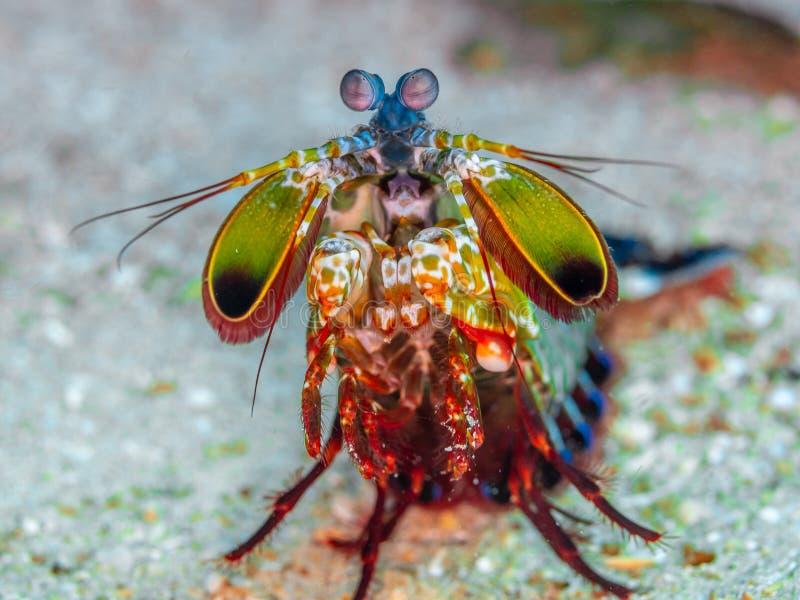 De garnalen van pauwbidsprinkhanen, Odontodactylus-scyllarus Het noorden Sulawesi stock afbeeldingen