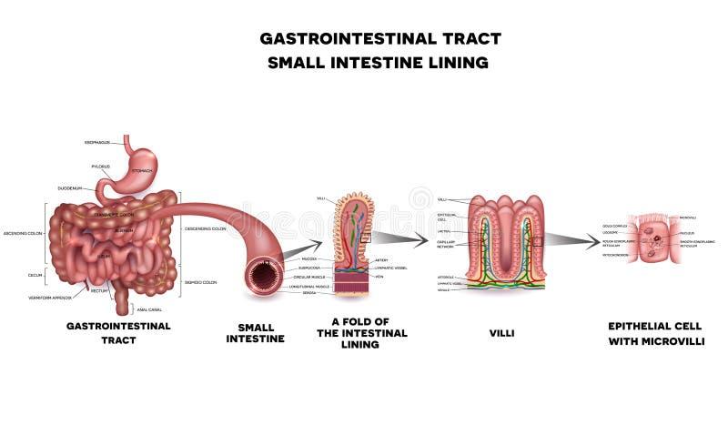 De gastro-intestinale anatomie van de systeemdunne darm vector illustratie