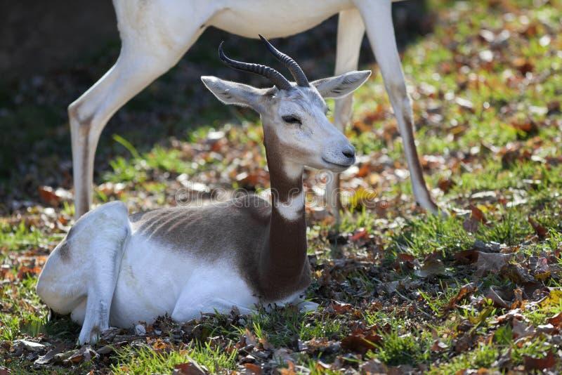 De Gazelle van Addra royalty-vrije stock foto's