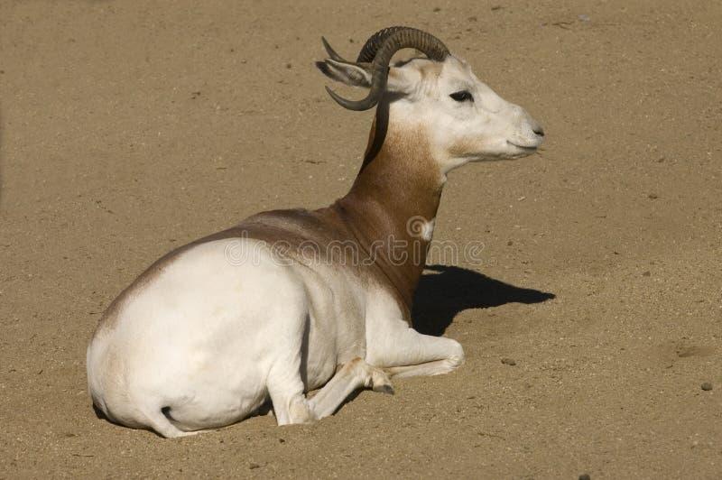De Gazelle van Dama royalty-vrije stock foto's