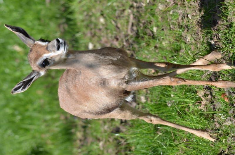 De gazelle van de baby stock foto's