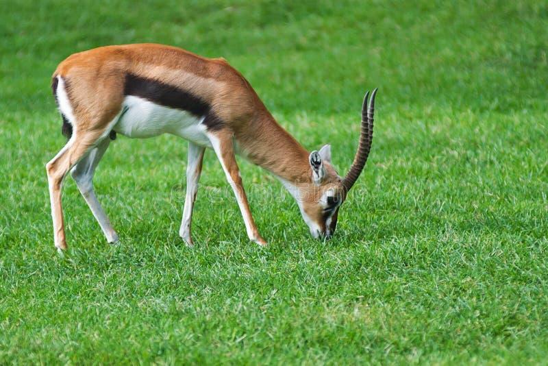 De Gazelle van de toelage royalty-vrije stock foto's