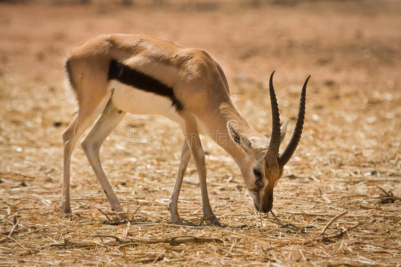 De Gazelle van Thomson royalty-vrije stock fotografie