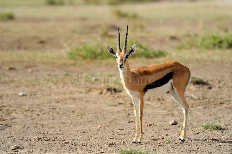 De Gazelle van Thomson stock fotografie