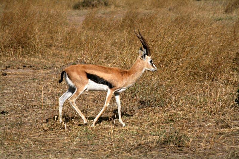 De Gazelle van Thomson royalty-vrije stock afbeelding