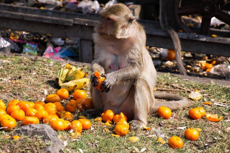 De geïsoleerde aapkrab die macaque, Macaca-fascicularis houdt van mandarijnen in Lopburi, Thailand eten royalty-vrije stock foto