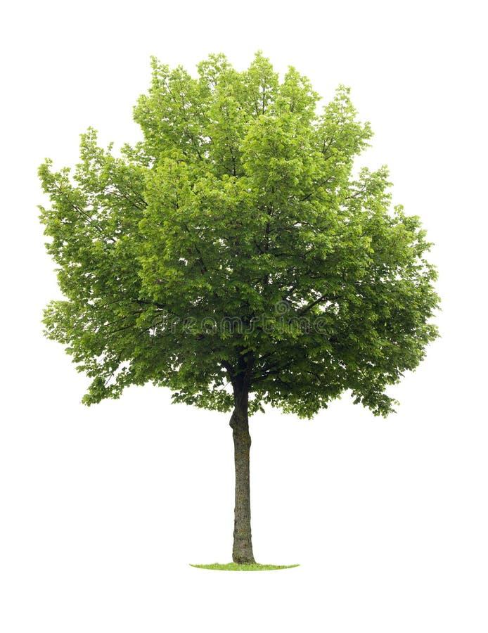 De geïsoleerde boom van de Linde royalty-vrije stock foto