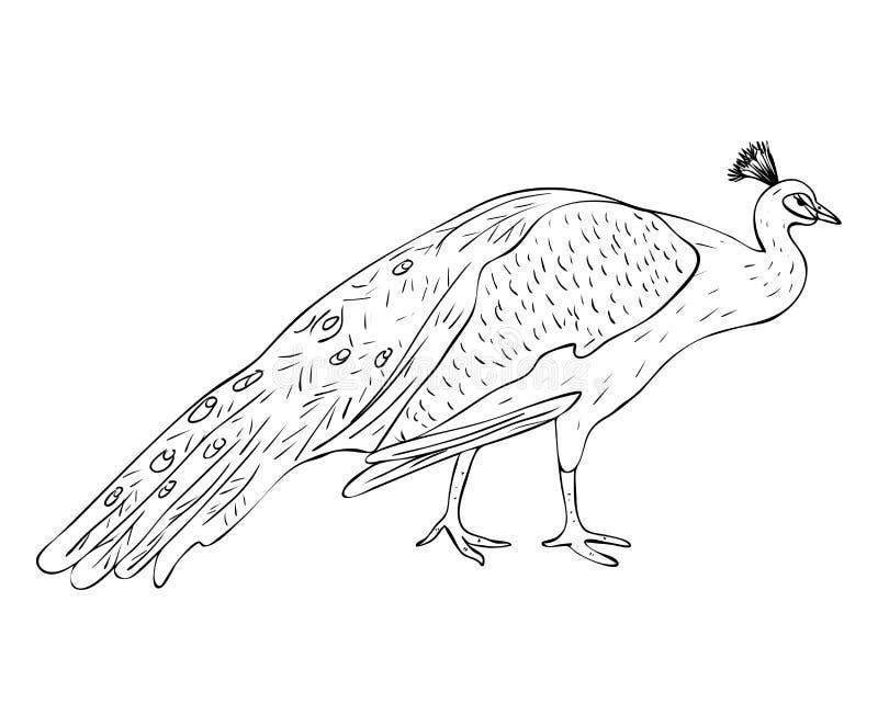 De geïsoleerde mannelijke pauw in zwart-witte kleuren, schetst originele hand geschilderde tekening royalty-vrije illustratie