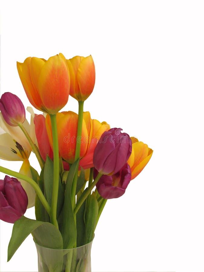 De geïsoleerde oranje en purpere tulp bloeit in een vaas met witte achtergrond en lege ruimte stock afbeelding