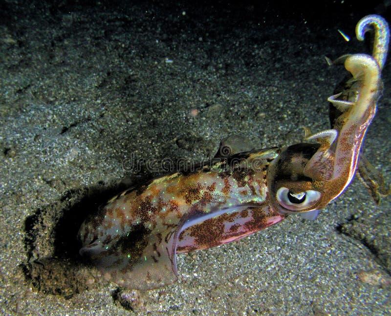 De geïsoleerde pijlinktvis in nacht duikt royalty-vrije stock foto's