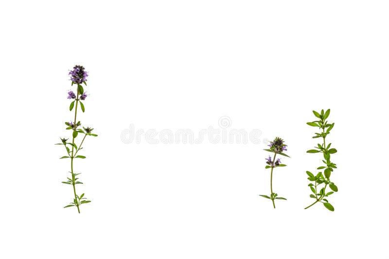 De geïsoleerde verse thyme gaat en bloeit op witte achtergrond weg stock foto