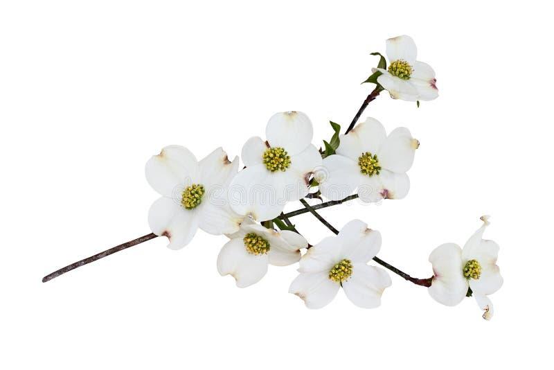De geïsoleerde Witte bloeiende bloesems van de kornoeljeboom stock fotografie