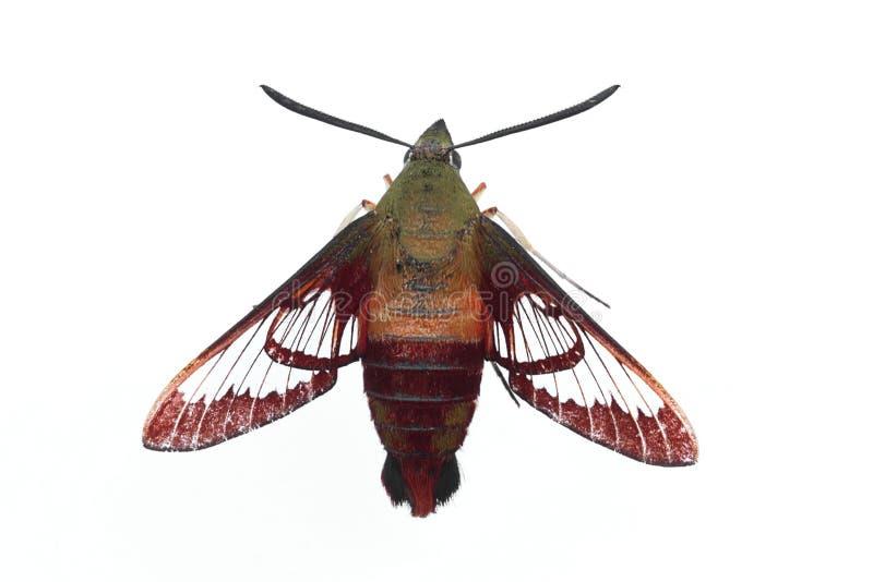 De Geïsoleerdea Mot van de kolibrie - royalty-vrije stock afbeelding