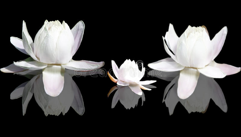 De geïsoleerdee bloemen van Lotus stock foto's