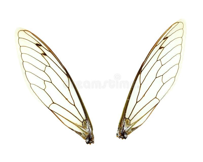 De geïsoleerdei Vleugels van de Cicade stock afbeelding