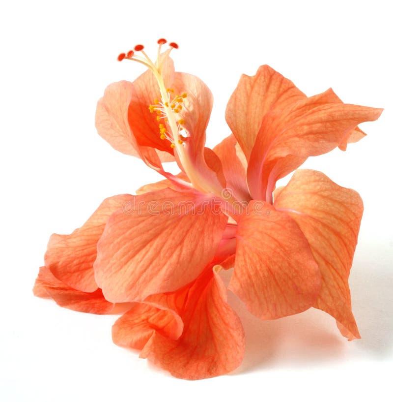 De geïsoleerden Oranje Bloem van de Hibiscus stock afbeelding