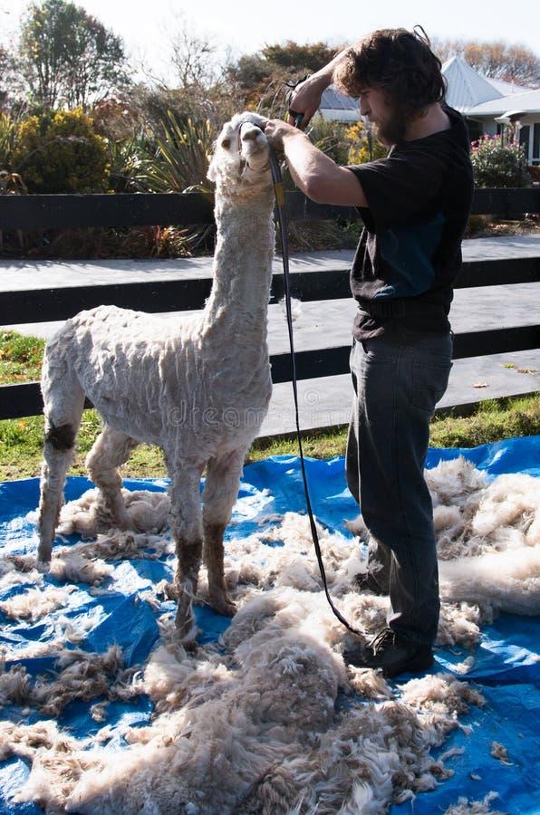 De gebeëindigde Alpaca die één of andere definitieve aanraking UPS krijgen stock foto's