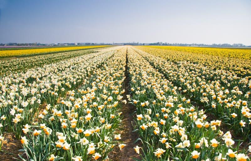 De gebieden van de gele narcis in geel, oranje en wit royalty-vrije stock foto