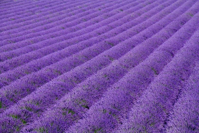 De gebieden van de lavendel stock foto