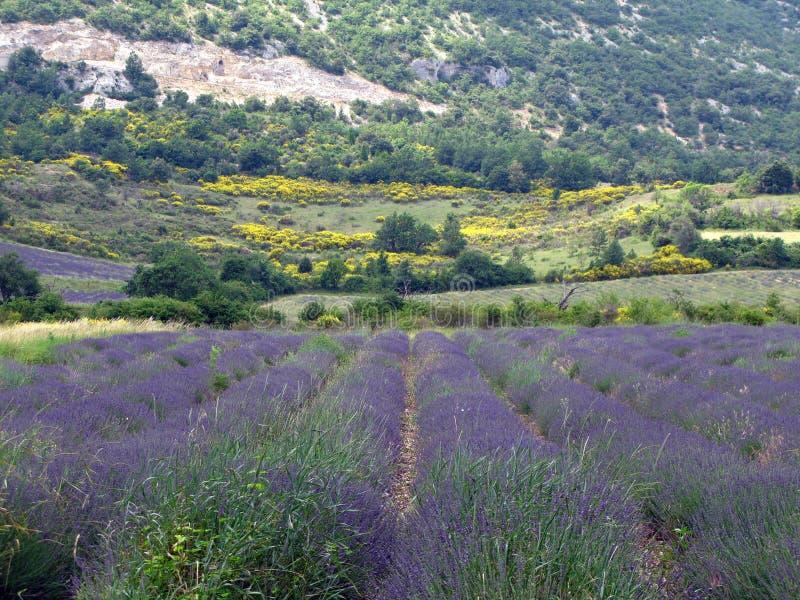 Lavendelgebieden voor etherische oliën royalty-vrije stock afbeeldingen