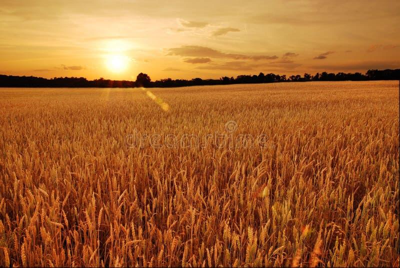 De gebieden van de tarwe bij zonsondergang stock foto