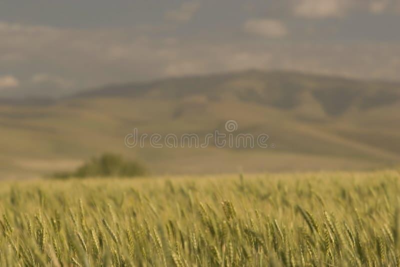 De Gebieden van de tarwe, dichtbij Pendleton stock afbeelding
