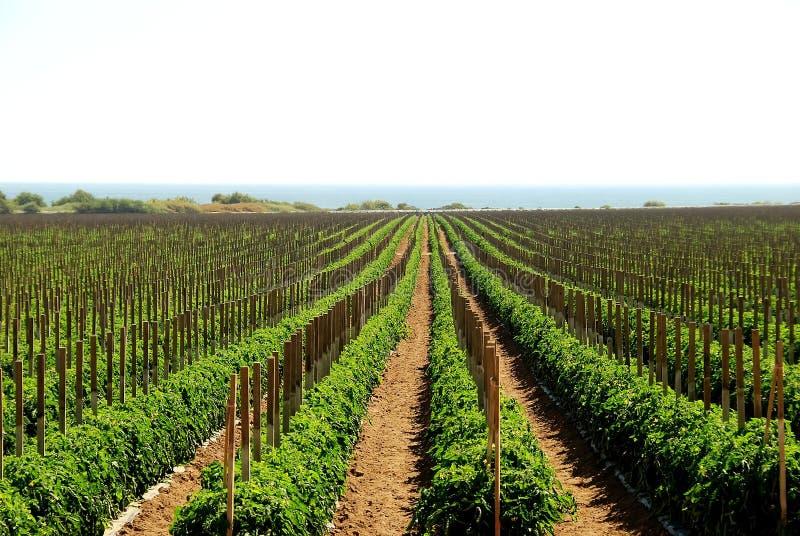 De gebieden van de tomaat in Californië 2 stock afbeeldingen
