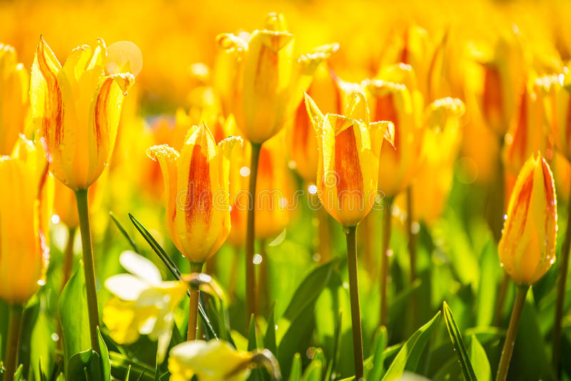 De gebieden van de tulpenbloem in Amsterdam, Nederland royalty-vrije stock fotografie