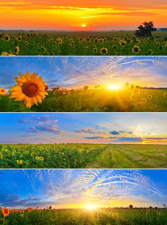 De gebieden van de zonnebloem stock afbeelding