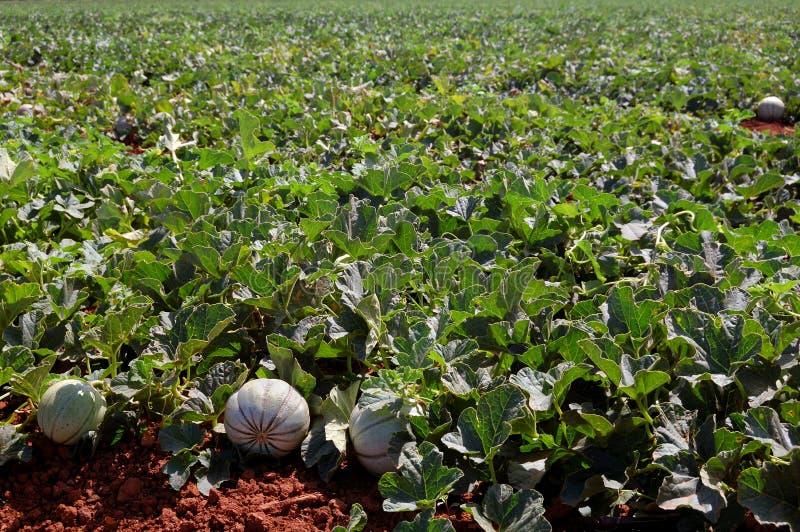 De gebieden van het landbouwbedrijf, meloenenaanplanting royalty-vrije stock afbeelding