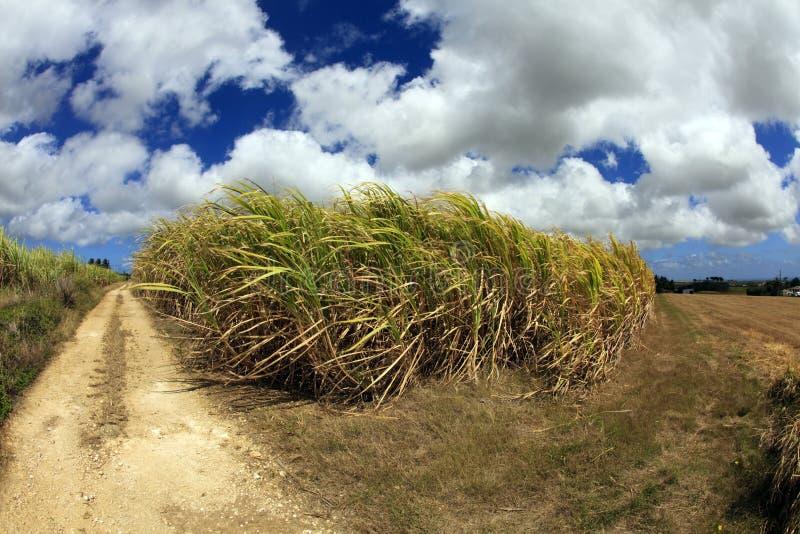 De Gebieden van het Suikerriet van Barbados royalty-vrije stock foto
