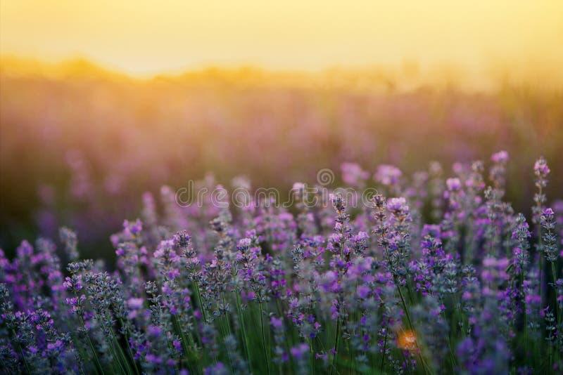 De gebieden van de lavendel bij zonsondergang stock illustratie