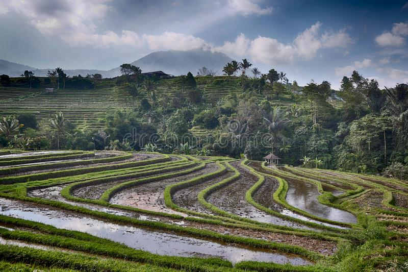 De gebieden van rijstterrassen in Bali, Indonesië - Beeld royalty-vrije stock afbeeldingen