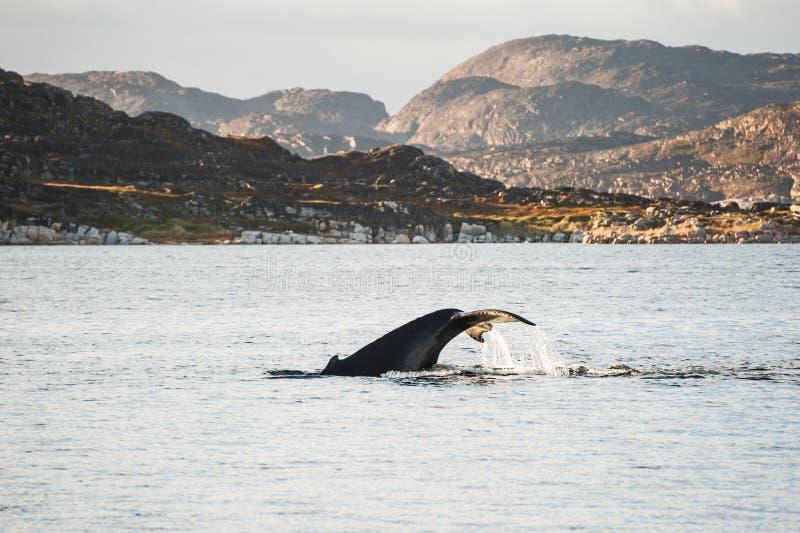 De gebocheldewalvis duikt tonend de staart in Groenland royalty-vrije stock afbeelding