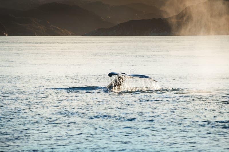 De gebocheldewalvis duikt tonend de staart in Groenland royalty-vrije stock afbeeldingen