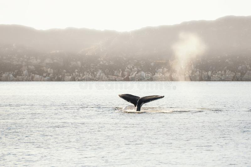 De gebocheldewalvis duikt tonend de staart, Groenland stock afbeeldingen