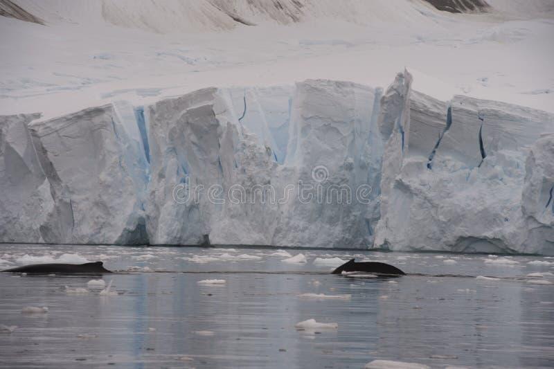 De gebocheldewalvis reist een lange ijsberg royalty-vrije stock fotografie