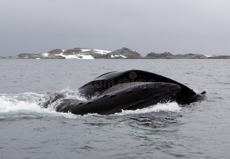 De gebocheldewalvis van Antarctica bel-voedt op kril stock afbeeldingen