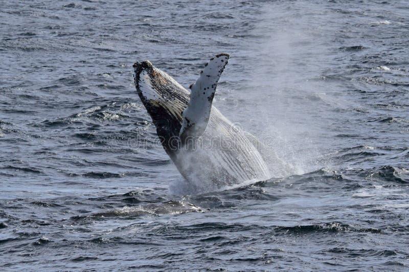 De gebocheldewalvis van Antarctica het pronken met stock afbeeldingen