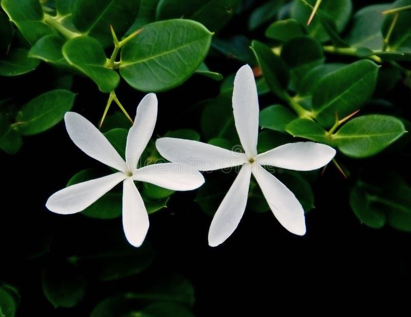 De geboorte bloemen van de Pruim stock foto's
