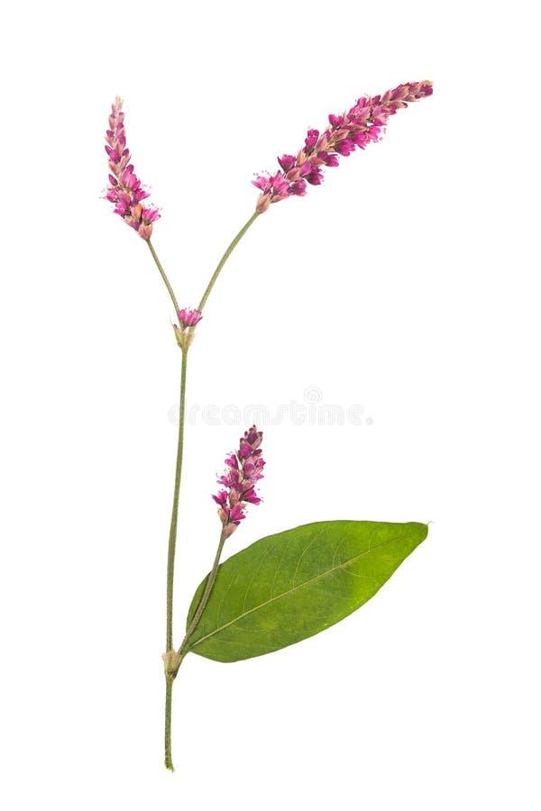 De gedrukte en droge bloem smartweed of persicaria hydropiper royalty-vrije stock afbeelding