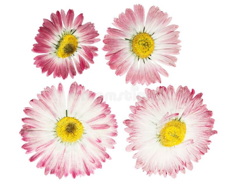 De gedrukte en droge margriet van het bloemmadeliefje Ge?soleerd op wit royalty-vrije stock afbeelding