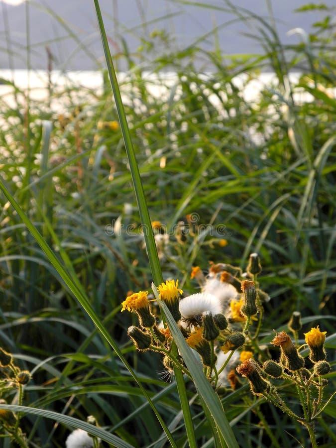 De geel bloemen van het gomonkruid en strandgras royalty-vrije stock foto's