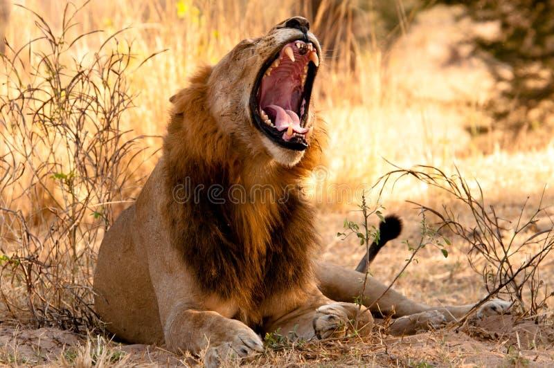 De geeuwen van een Leeuw in de vroege Ochtend stock afbeelding