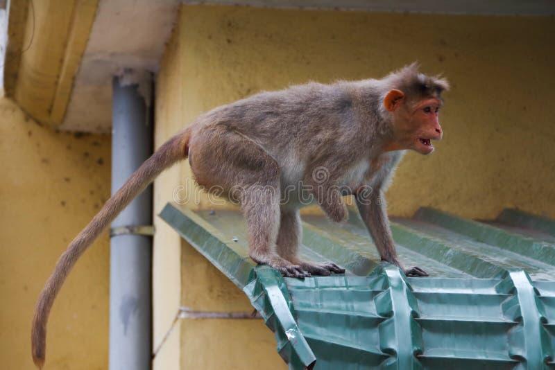 De gehandicapte aap in stad van India royalty-vrije stock fotografie