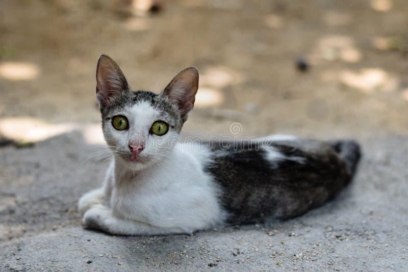 De geheimzinnige kat met het doordringen ziet en groene ogen eruit royalty-vrije stock foto