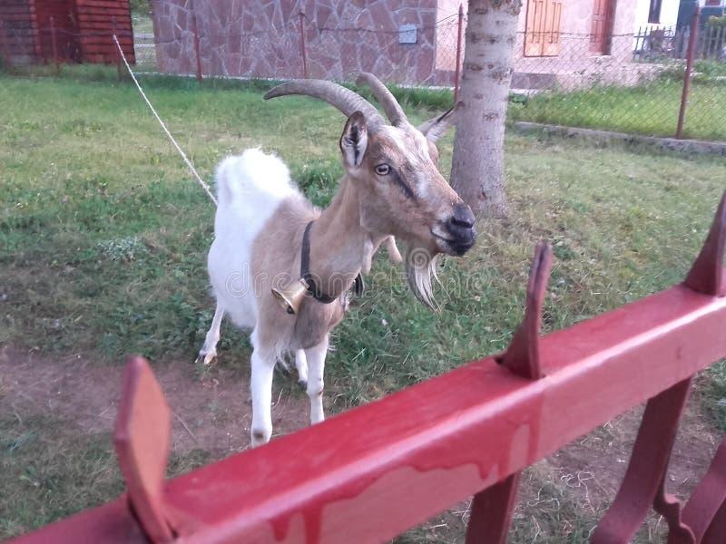 De geit bekijkt het milieu stock foto's